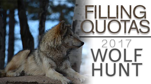 Wyoming Wolf Hunt A Big Success, Now On To Grizzlies